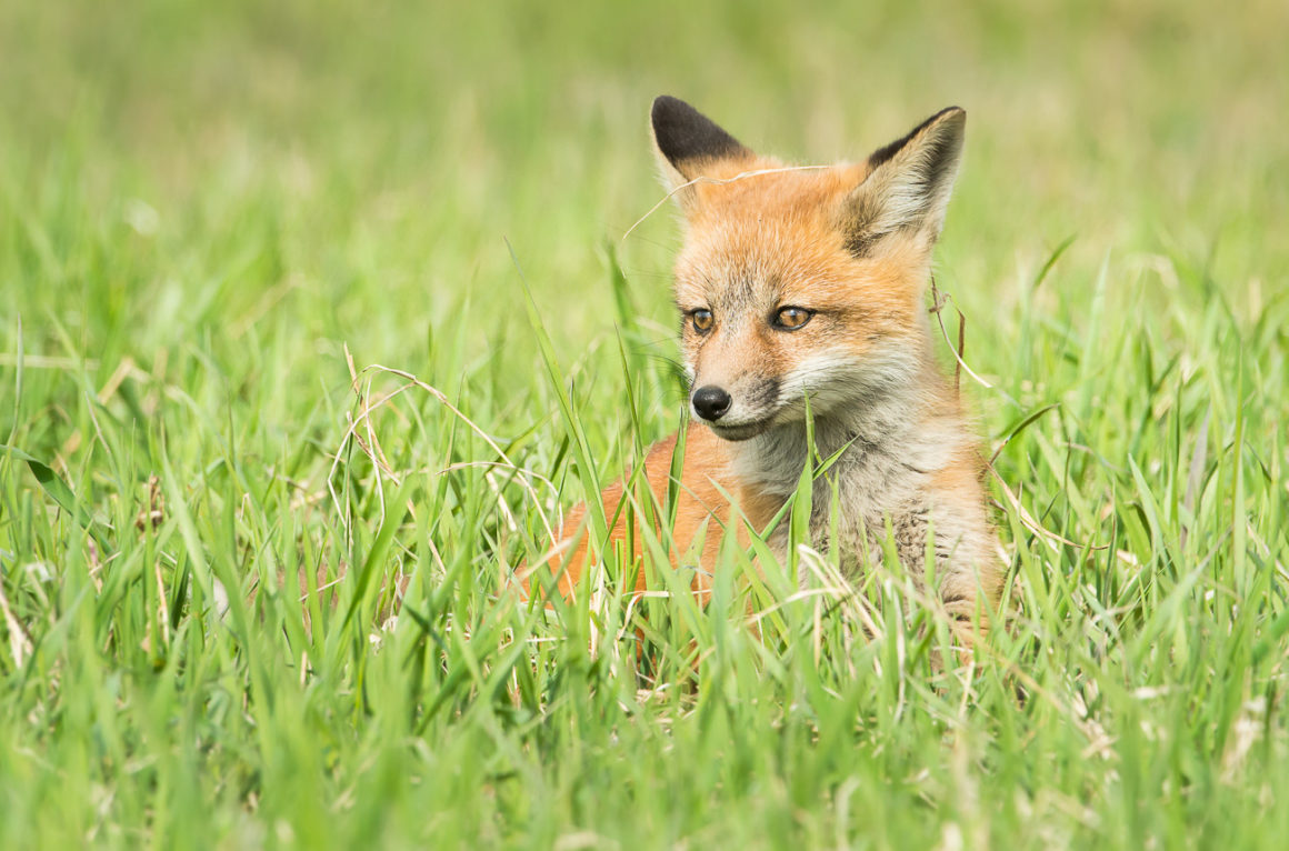 Red fox kit in tall grass.