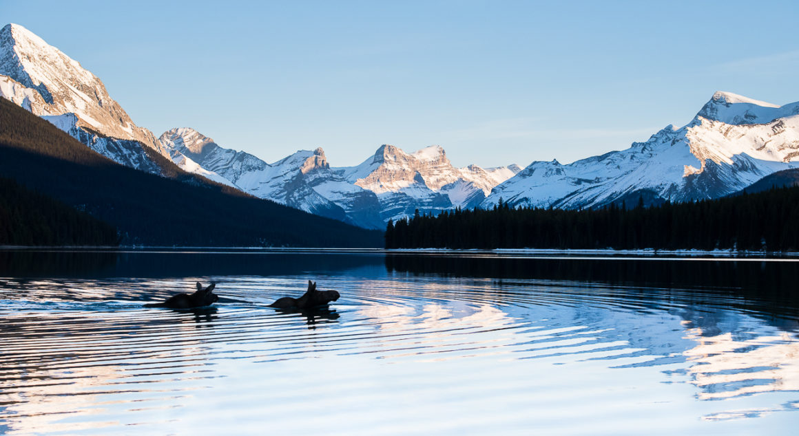 Moose cow and calf swimming across Maligne Lake in Jasper National Park, Alberta.