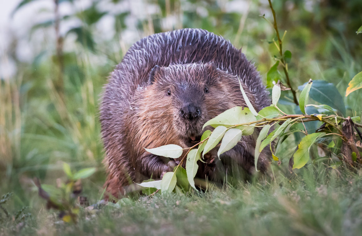 Beaver carrying a willow branch