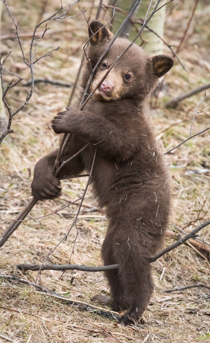 Black bear cub playing on a tree in the spring