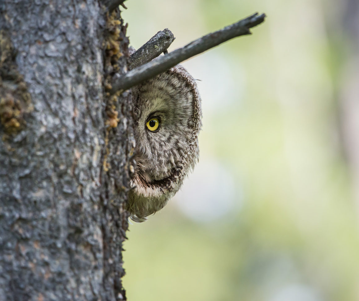 Great grey owl peeking from behind a tree truck