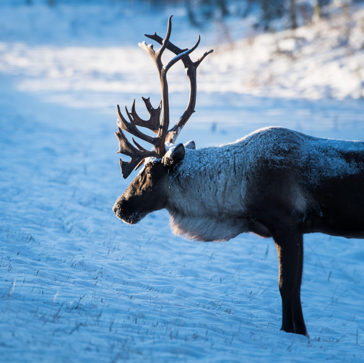 Mountain caribou in the snow.