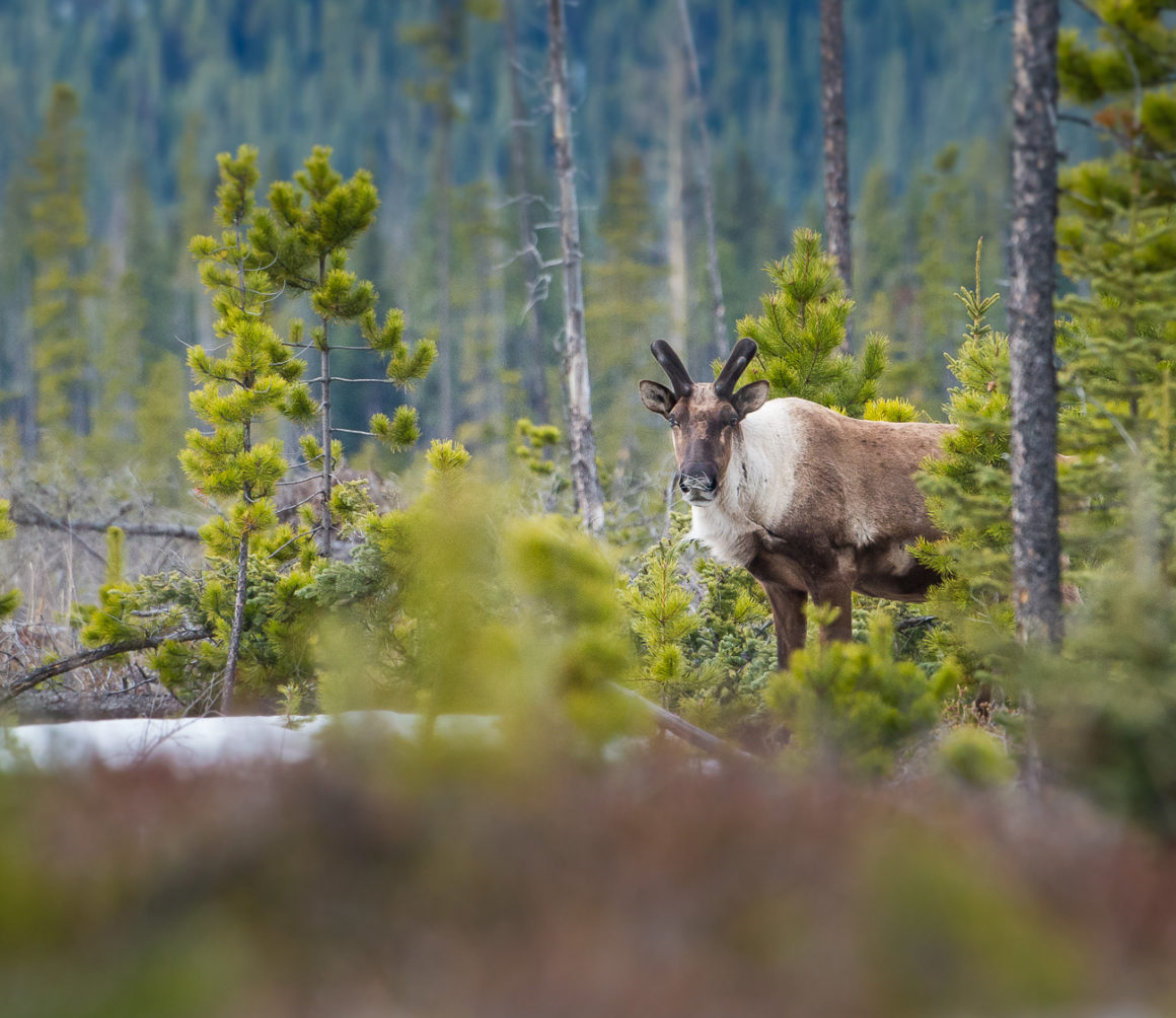 Mountain caribou in a clearcut.
