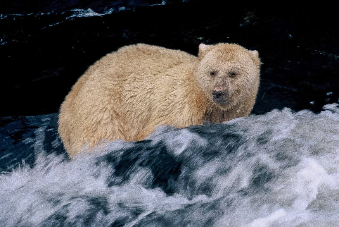 Spirit bear in the rapids looking for salmon